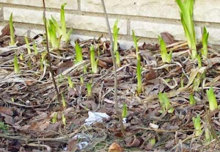 Iris sprouting up along the west side of the house.