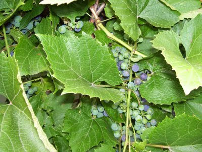 Concord grapes are just turning purple.