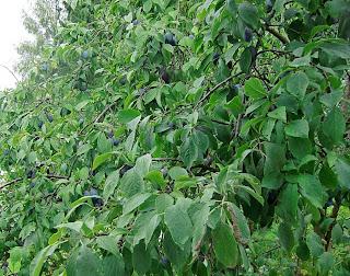 plums (onemorehandbag)