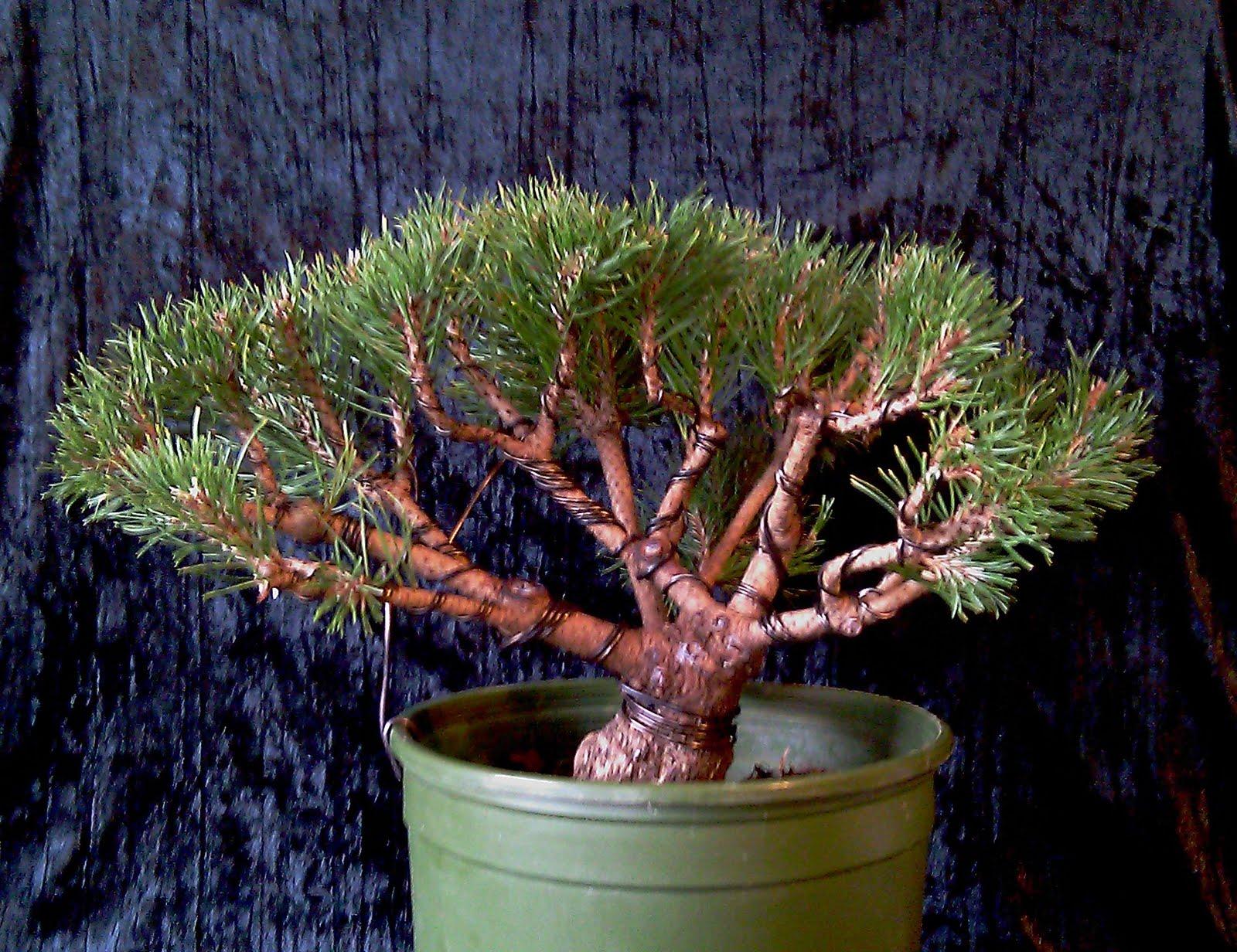 Wiring A Mugo Pine Bonsai Data Diagram Juniper Tree Alec Large Shrub