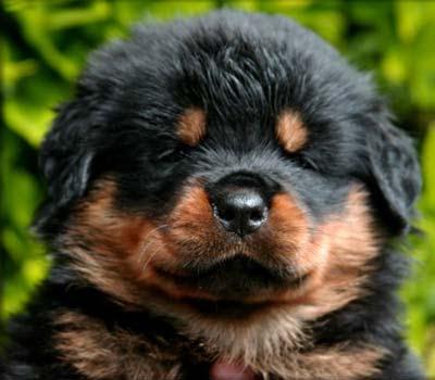 Rottweiler Dogs: Rottweiler Breeders