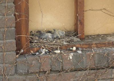 Baby Pigeons