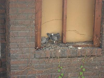 Baby Pigeons fledgling