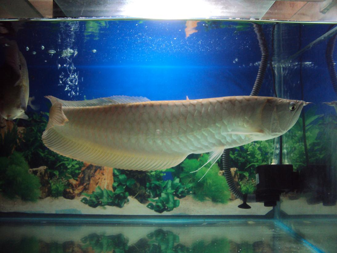THE FUCKING OCEAN YOU GUYS — Silver Arowana