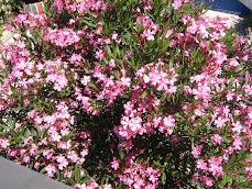 Mein Oleander in Kroatien...