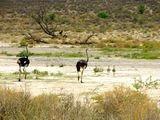 страусы в парке Ауграбис