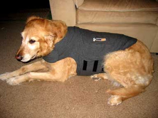 Sophie models her Thundershirt