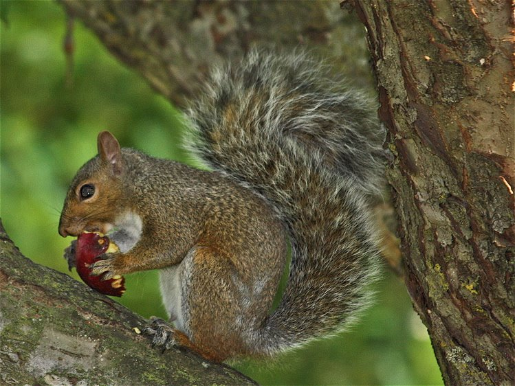 [1+snacking+squirrel+750]