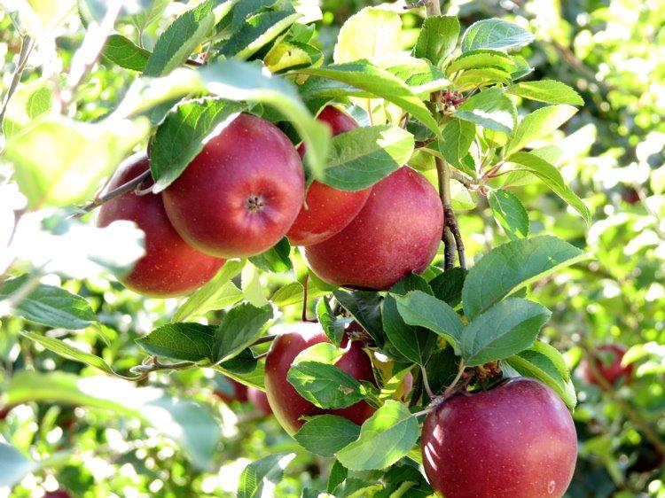 [2+apples+]