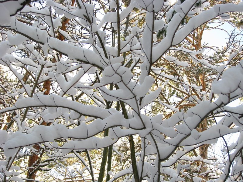 [snow+on+branches+750]