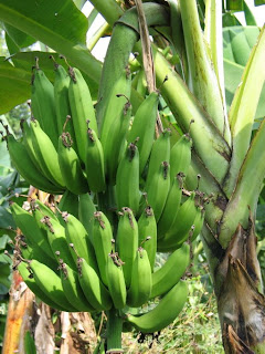d 39 pisang july 2009
