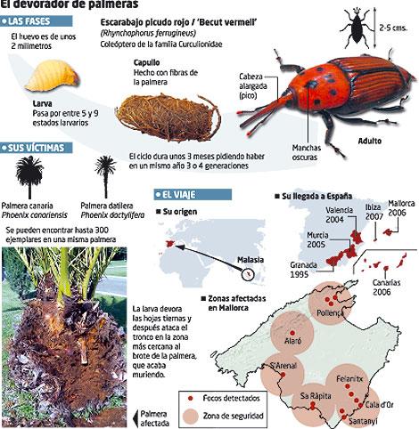 Escarabajo palmeras tratamiento