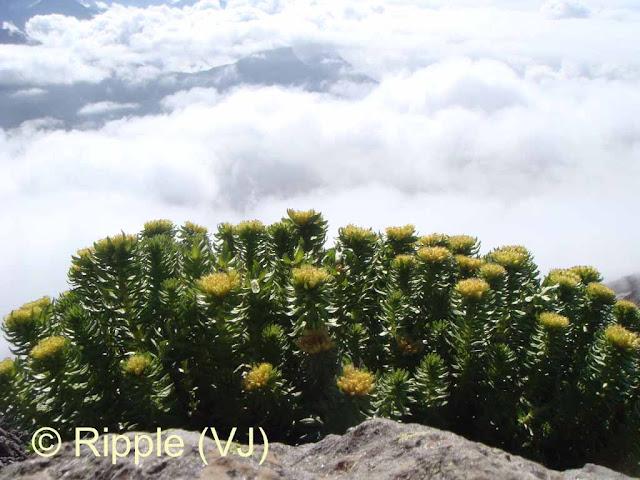 SHRIKHAND MAHADEV: Bunch of wild flowers very close to the cloud line on way to Shrikhand Mahadev
