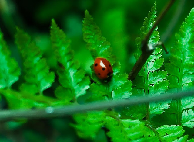 MUKTESHWAR & NAINITAAL: Red Shiny bug sitting on flashy green grass @ Mukteshwar