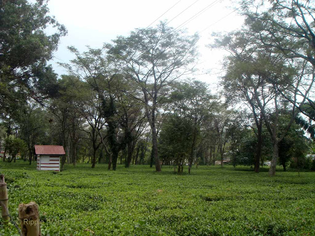 Posted by Ripple (VJ) : Palampur, Himachal PradeshView of a Tea Garden in Palampur