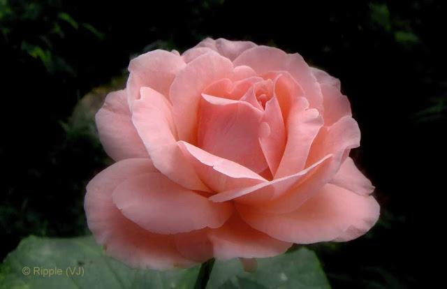 Posted by Ripple (VJ) : Palampur, Himachal Pradesh: Another Rose from Kaya-Kalp Garden (Palampur)
