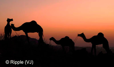 Posted by Ripple (VJ) :  Pushkar Camel Fair 2008 : Camels on the hill after Sunset @ Pushkar Camel Fair 2008The small and beautiful town of Pushkar is set in a valley just about 14 km off Ajmer in the north Indian state of Rajasthan. Surrounded by hills on three sides and sand dunes on the other, Pushkar forms a fascinating location and a befitting backdrop for the annual religious and cattle fair which is globally famous and attracts thousands of visitors from all parts of the world.