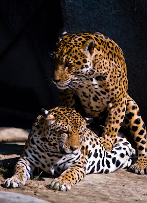 Posted by Ripple (VJ) : Jaguar Couple @ Delhi Zoo : The jaguar, Panthera onca, is a big cat, a feline in the Panthera genus. It is the only Panthera found in the Americas. The jaguar is the third-largest feline after the tiger and the lion, and the largest and most powerful feline in the Western Hemisphere. The jaguar's present range extends from Mexico across much of Central America and south to Paraguay and northern Argentina. Apart from a known and possibly breeding population in Arizona (southwest of Tucson), the cat has largely been extirpated from the United States since the early 1900s. There is, however, a high probability that (given the surveyed population in southwestern Arizona) populations of Jaguar exist in other unsurveyed regions within southern Arizona, New Mexico and possibly even Texas.