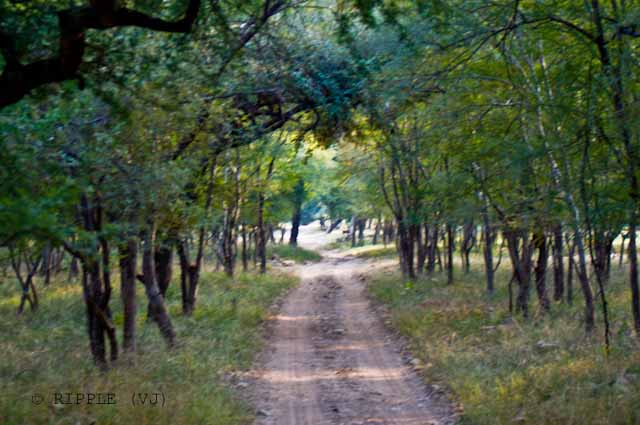 Ranthambore wildlife sanctuary is famous for its tigers and is one of the best places in India to see these majestic predators in the jungle. Tigers can be easily spotted even during the day Time. Good time to visit Ranthambore National park is in November and May when the nature of the dry deciduous forests makes sightings common. Its deciduous forests were once a part of the magnificent jungles of Central India.Posted by Ripple (VJ) : ripple, Vijay Kumar Sharma, ripple4photography, Frozen Moments, photographs, Photography, ripple (VJ), VJ, Ripple (VJ) Photography, Capture Present for Future, Freeze Present for Future, ripple (VJ) Photographs , VJ Photographs, Ripple (VJ) Photography :