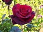 Esta rosa es de una amiga yo se la cuido .
