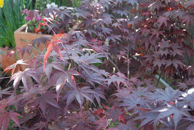 Small Bloodgood Red Japanese Maple Tree
