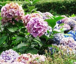 Www ecosdemiciudad com cuidando tu jardin floraci n de - Cuando podar las hortensias ...