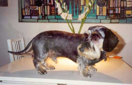 Born To Track Blog Do Wirehaired Dachshunds Shed How To Groom Them