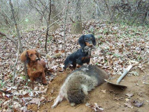 Woodchuck Hunting Dog