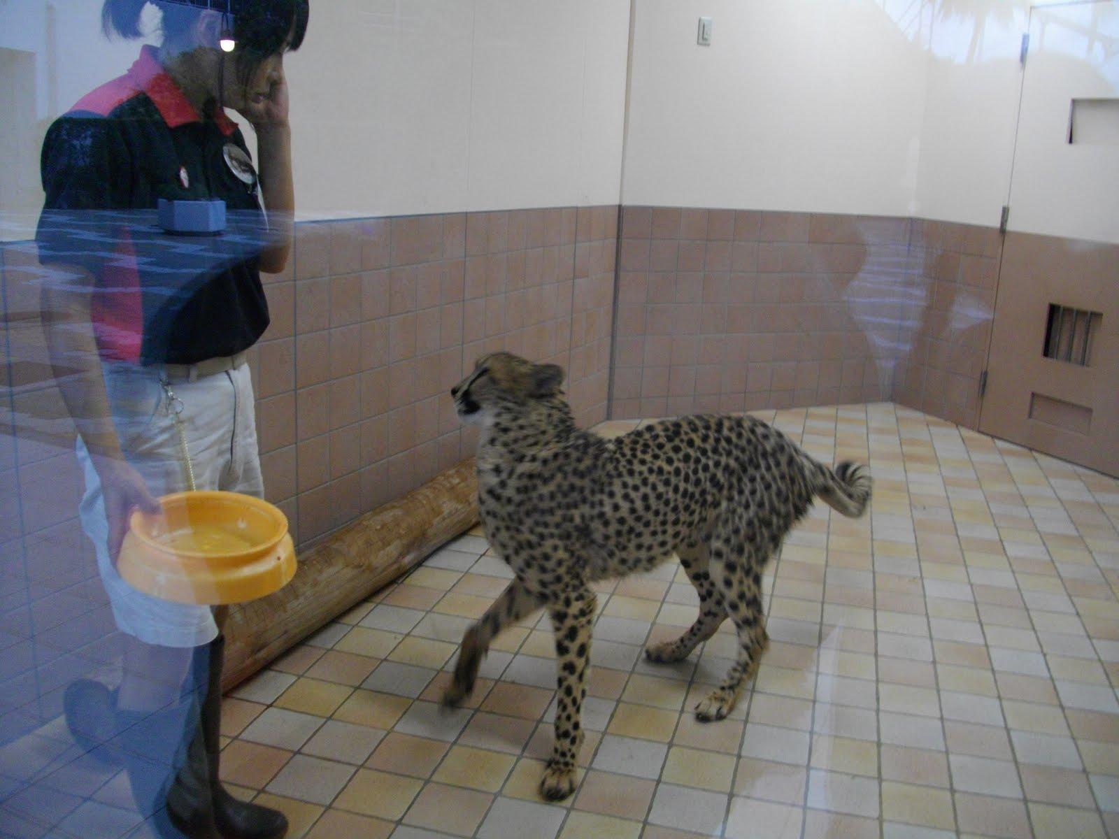 Affectionate Cheetahs HD Wallpapers ilikewall  - affectionate cheetahs wallpapers