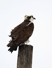 Osprey At 3 Dollar Bridge