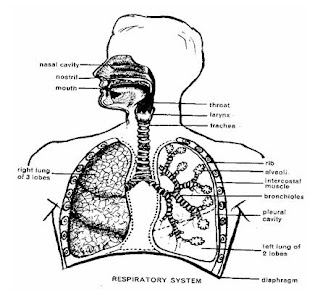 my knowledge: Anatomi And Fisiologi Respiratory System