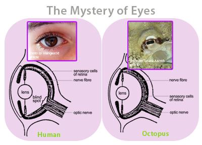 Anthrovolution: Week 3 Analogy/Homology Post Octopus Eye Vs Human Eye