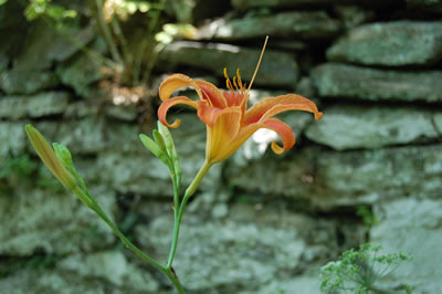 Daylily in front of the stone wall, Glen Fern.