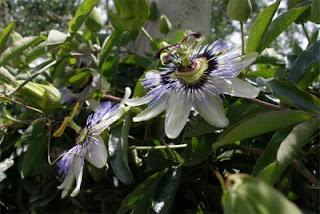 Passiflora Bracciano