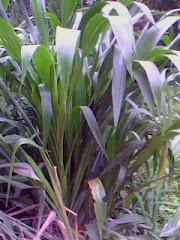 Pokok Guatemala