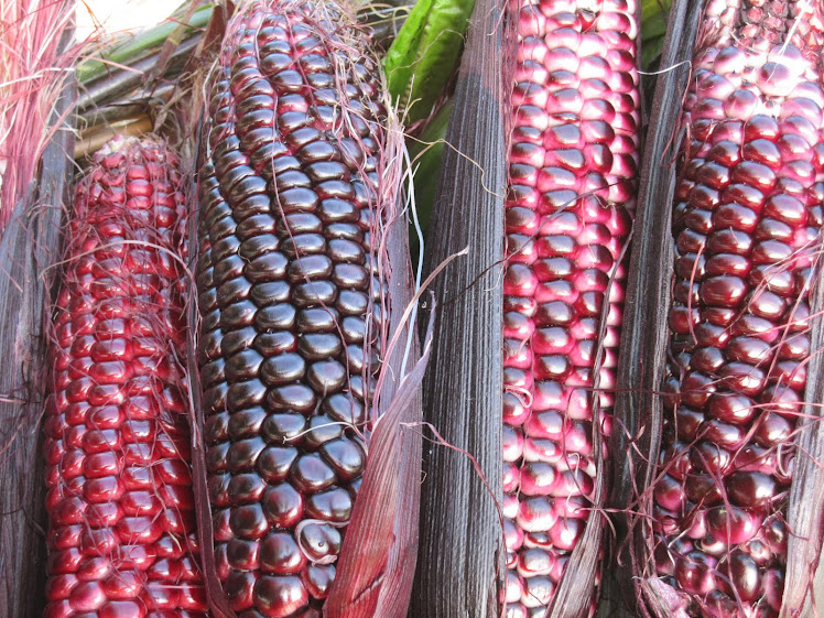 Double Red Sweet Corn