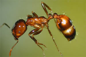 [Image: Fire-Ant.jpg]