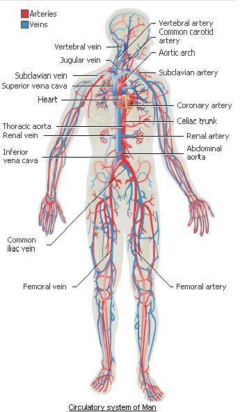 the human body  circulatory system