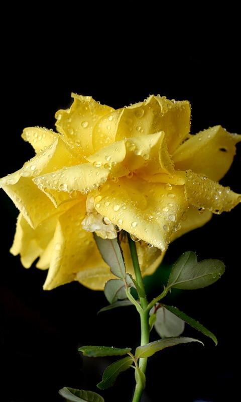 mobile screensaver wallpaper flowers - photo #30