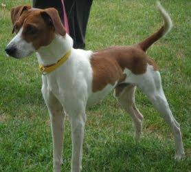 Beagle Italian Greyhound Mix | Dog Breeds Picture