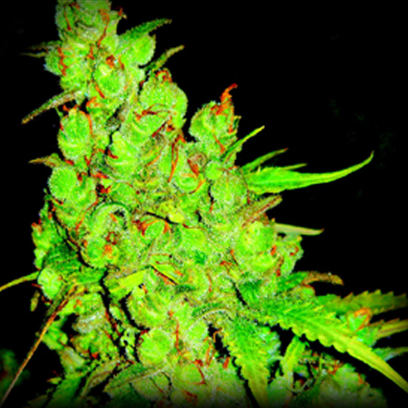 Growshop thcbarcelona semillas de marihuana semillas for Marihuana interior produccion