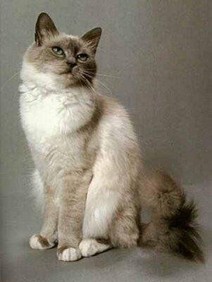 Cat Pet Shop: Kucing Birman