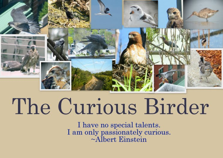 The Curious Birder