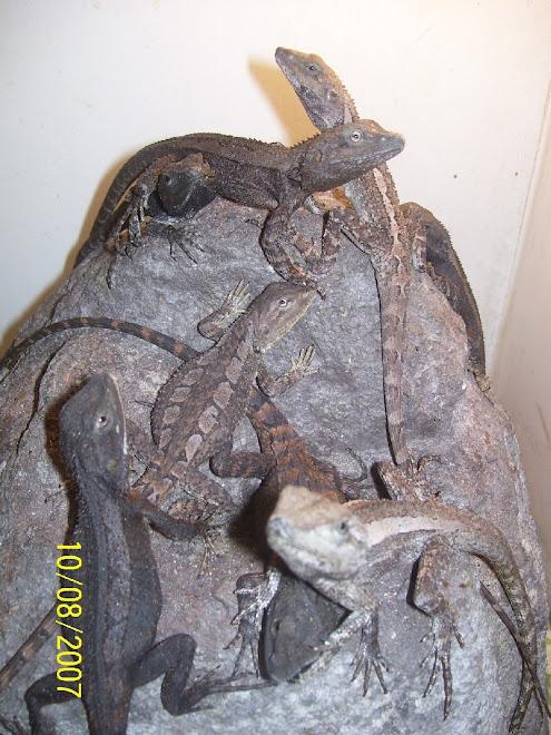 Amphibolurus muricatus