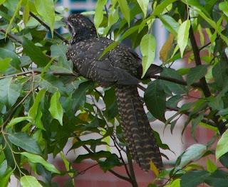 The Female Squawk Up-close