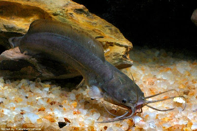 Brown Walking Catfish Photo by Hang Zhou