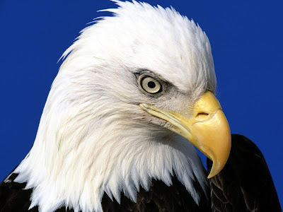 golden eagle wallpaper. wallpaper Eagle Wallpaper 892