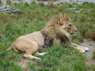 wallpaper lion. Lion Wallpapers