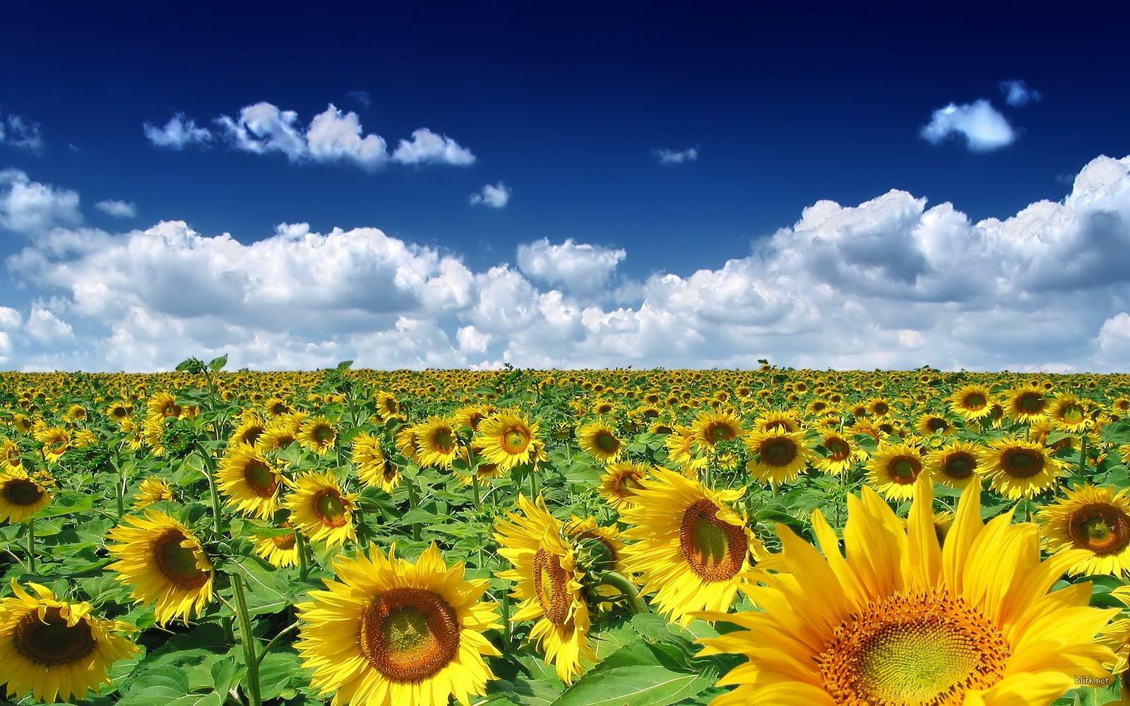 http://2.bp.blogspot.com/_YA8CmyMTHA0/TBQCI70s8QI/AAAAAAAAAh4/xUXquZ3c5ao/s1600/sunflower-001.jpg
