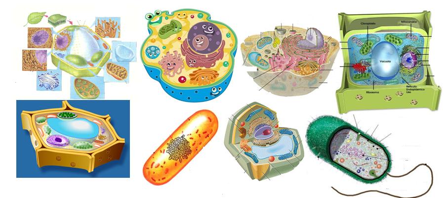 la celula animal. Proyecto: Maqueta de la celula